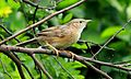 Common Babbler of West Bengal.jpg