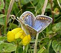 Common Blue Female. Polyommatus icarus - Flickr - gailhampshire.jpg
