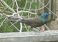 Common Grackle - markings.jpg