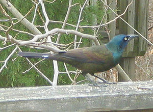 Common grackle - Image: Common Grackle markings