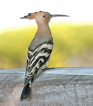 Uropygial gland - Hoopoes host symbiotic bacteria in their uropygial glands whose excretions act against feather-degrading bacteria.