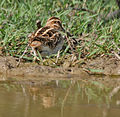 Common Snipe (Gallinago gallinago) at Bharatpur I IMG 5744.jpg