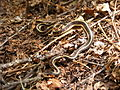 Common garter snake, Thamnophis sirtalis, full body.JPG