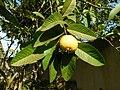 Common guava.jpg