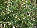 Compound-cymed Mangrove (5385272650).jpg