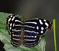 ComputerHotline - Lepidoptera sp. (by) (25).jpg