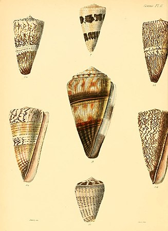 Conchologia iconica, or, Illustrations of the shells of molluscous animals (Conus,Plate 2) (6029517339).jpg