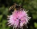 Conopidae fg1.jpg