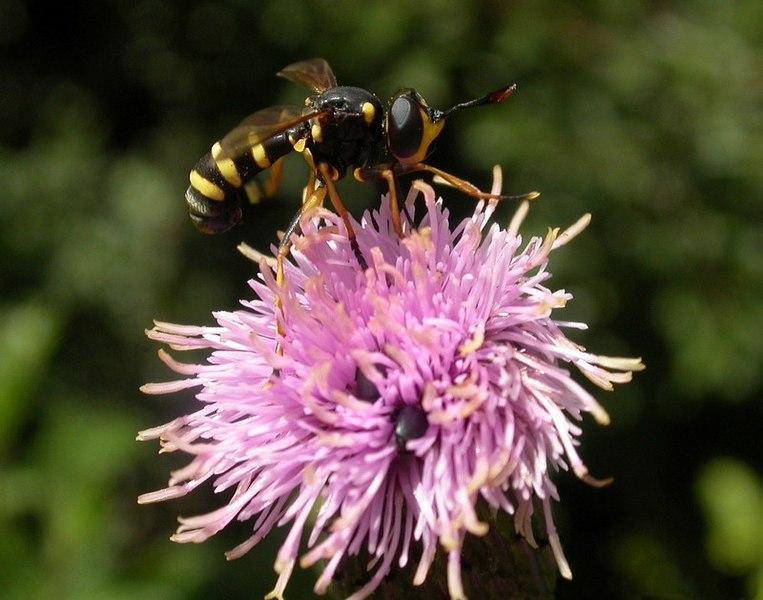 Fil:Conopidae fg1.jpg