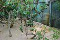 Conservatoire botanique national de Brest-Psiadia rodriguesiana-15 07 03 Philweb-05 (19196228069).jpg