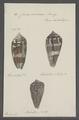 Conus cinereus - - Print - Iconographia Zoologica - Special Collections University of Amsterdam - UBAINV0274 085 10 0023.tif