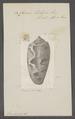 Conus tulipa - - Print - Iconographia Zoologica - Special Collections University of Amsterdam - UBAINV0274 085 10 0007.tif
