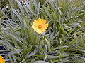 Coreopsis grandiflora HRM.jpg