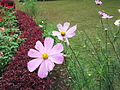 Coreopsis rosea-2-yercaud-salem-India.JPG