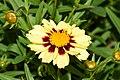 Coreopsis tinctoria cultivar Uptick Cream and Red 9.JPG