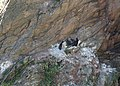 Cormorants nesting above Old Mill Bay - geograph.org.uk - 1365214.jpg