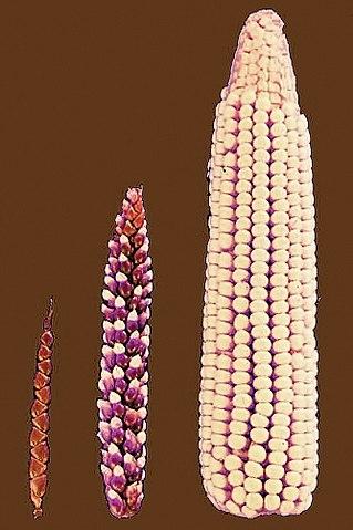 Genom konstlat urval har människan lyckats omvandla det ursprungliga majsgräset (längst till vänster) till modern majs (längst till höger) med stora, lätt åtkomliga korn.