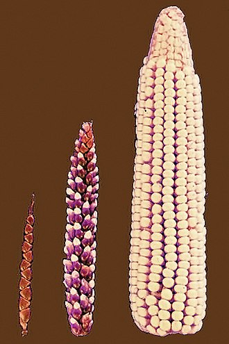 Coloration evidence for natural selection - Selective breeding transformed teosinte's small spikes (left) into modern maize (right). Darwin argued that evolution worked in a similar way.