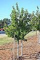 Cornus capitata 'Mountain Moon' - Humboldt Botanical Garden - Eureka, California - DSC02523.JPG