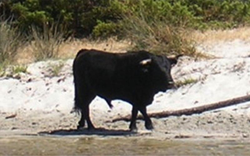 File:Corse taureau sur la plage.jpg