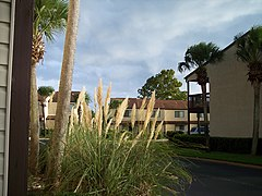 Cortaderia selloana Florida.jpg