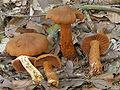 Cortinarius rubellus 02.jpg