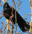 Corvus corax in Akureyri 2.jpeg
