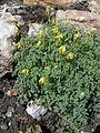 Corydalis lutea Jean-Jacques MILAN 01.jpg