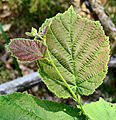 Corylus avellana young leaves.JPG