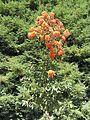 Corymbia ficifolia (8044444002).jpg