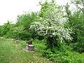 Costigiola biancospino-3.jpg