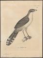 Coua delalandii - 1700-1880 - Print - Iconographia Zoologica - Special Collections University of Amsterdam - UBA01 IZ18800129.tif