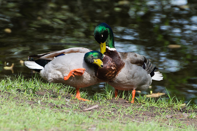 Couple of two male mallard ducks - homosexual Anas platyrhynchos - Moenchbruch - Mönchbruch - May 3rd 2013 - 03.jpg