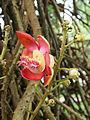 Couroupita guianensis 01.JPG