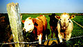 Cows along Pembrokeshire coast path between Fishguard and St David's; May 1998.jpg