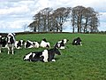 Cows at Castle Rook Farm - geograph.org.uk - 1240317.jpg
