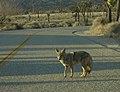 Coyote (3532302).jpg