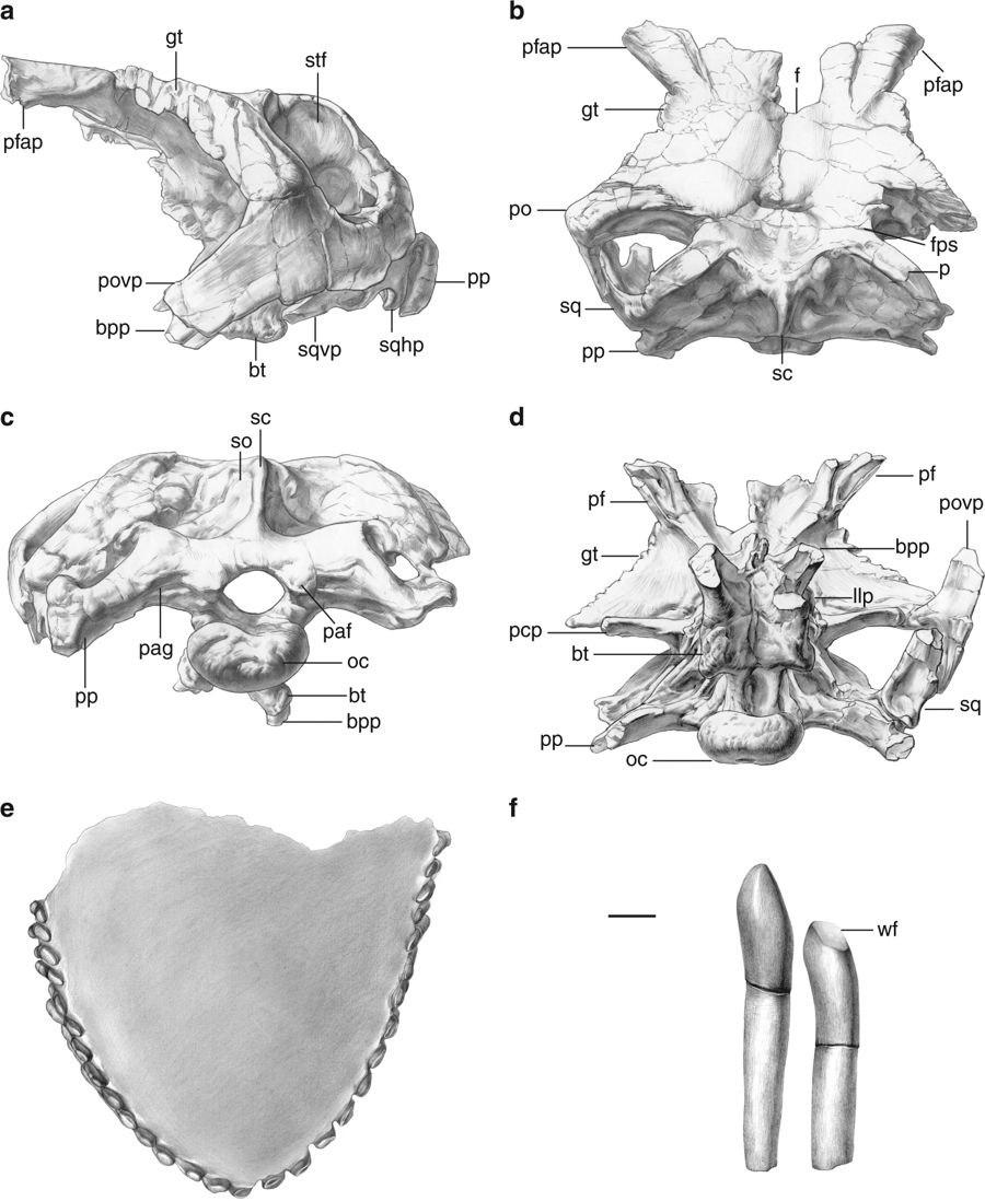 Cranial material of Lingwulong shenqi