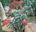Crassula perfoliata minor HabitusLeavesFlowers BotGardBln0806.jpg