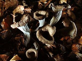 https://upload.wikimedia.org/wikipedia/commons/thumb/a/a7/Craterellus_cornucopioides_03.jpg/330px-Craterellus_cornucopioides_03.jpg