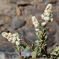 Creambush Holodiscus microphyllus flower spikes.jpg