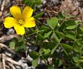 Creeping Woodsorrel (Oxalis corniculata) - Flickr - Jay Sturner.jpg