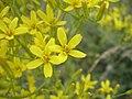 Crepis acuminata flowers-5-31-05.jpg