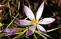 Crocus - geograph.org.uk - 1188660.jpg