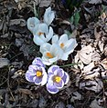 Crocus Flowers (8447219433).jpg
