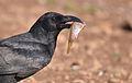 Crow Catch.jpg