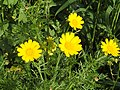 Crown daisy - Glebionis coronarium.jpg