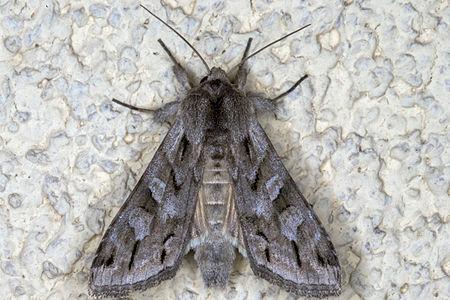 Cucullia fraudatrix, Lodz(Poland)02(js).jpg