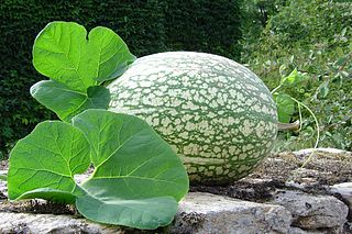 <i>Cucurbita ficifolia</i> Species of plant