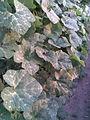 Cucurbitales - Cucurbita ficifolia 8 - 2011.07.11.jpg